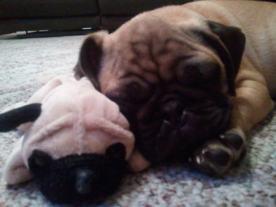 Harley with his Pug toy