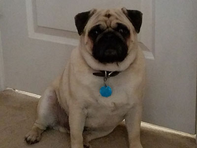 Gallery Riverhillpugscom 2017 Apricot Black And Fawn Akc