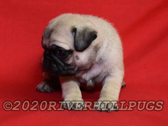 About Riverhillpugs 2017 Apricot Black And Fawn Akc Pug Puppies For